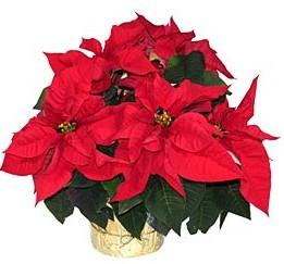 Tradiční vánoční květiny