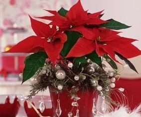 Rozkvetlé vánoční květiny: Do čeho je obléknout?