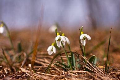 Sněženky a bledule, první poslové jara