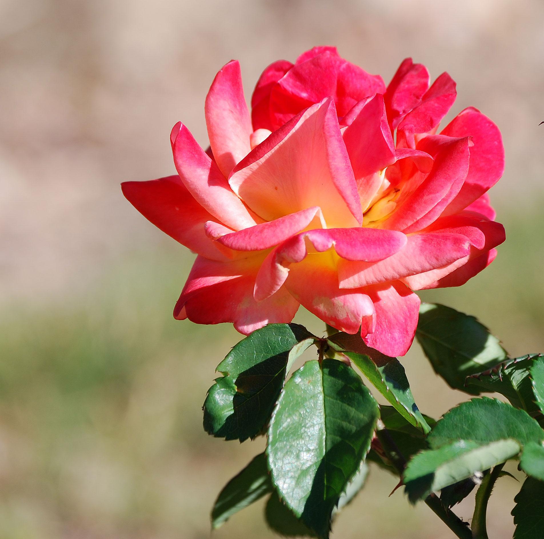 Léčivé a zkrášlující recepty z růží