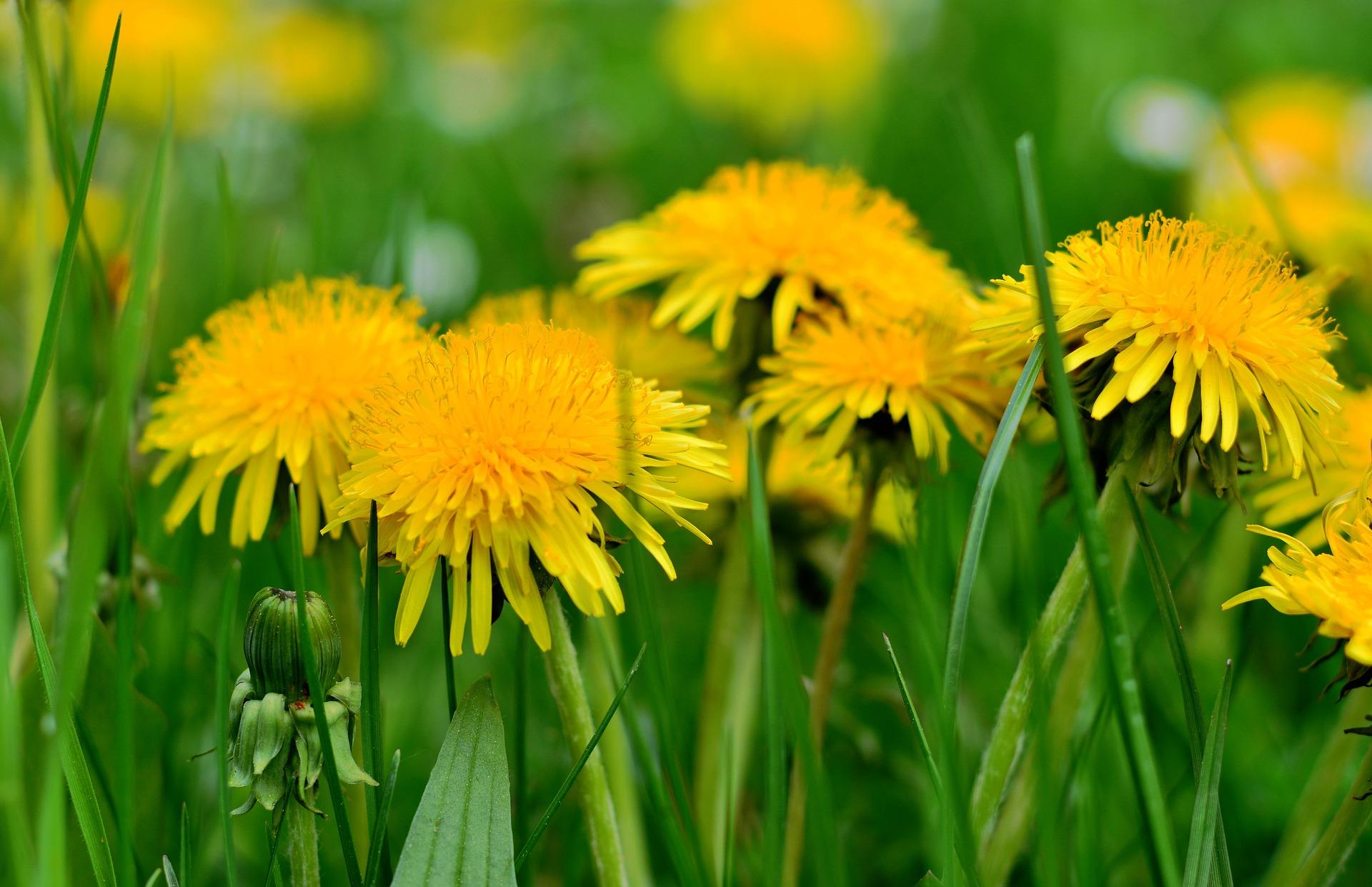 PAMPELIŠKA – obyčejně neobyčejná bylinka